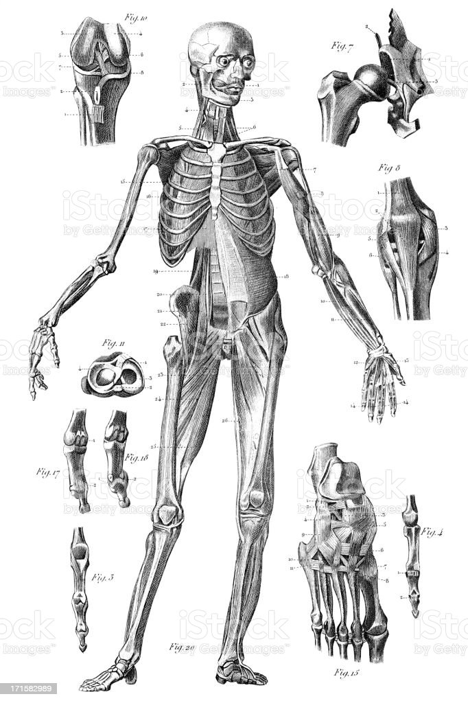 Engraving human skeleton 1851 royalty-free stock vector art