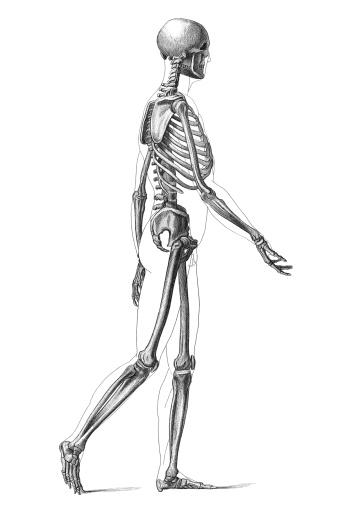Engraving human skeleton walking 1881