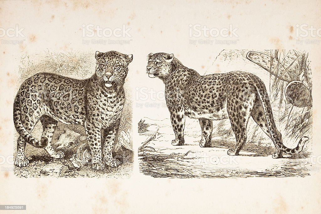 Engraving jaguar and leopard from 1882 royalty-free stock vector art