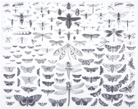Engraving: Lepidoptera