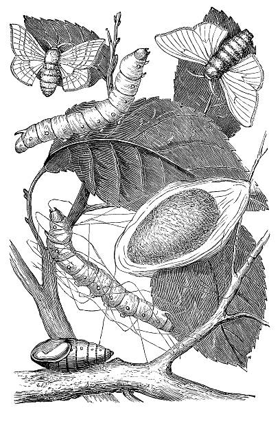 stockillustraties, clipart, cartoons en iconen met engraving metamorphosis of silkworm to cocoon - zijdeworm