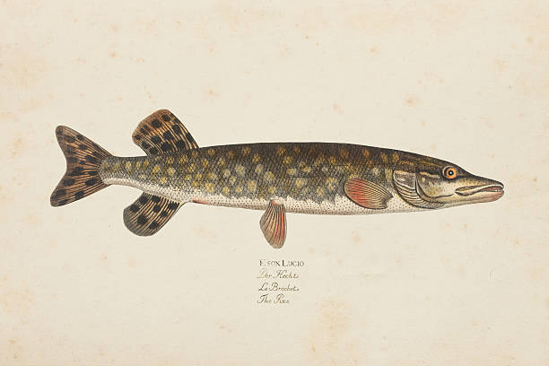 Engraving Northern pike fish from 1785 Esox is a genus of freshwater fish, the only living genus in the family Esocidae. pike fish stock illustrations