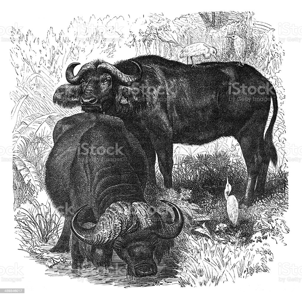 Engraving of African buffalo from 1877 vector art illustration