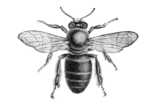 Engraving of bee from above isolated on white