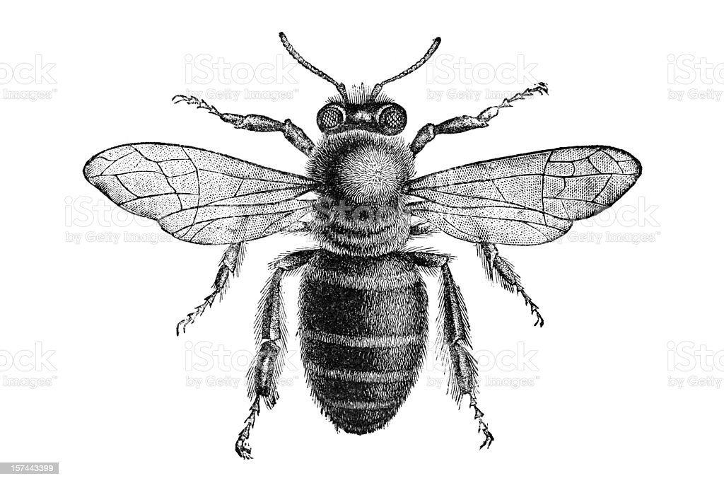Engraving of bee from above isolated on white vector art illustration