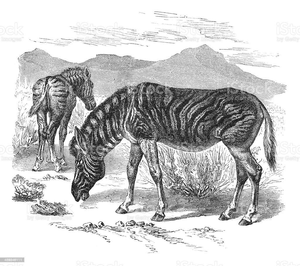 Engraving of Burchell's zebra from 1877 vector art illustration