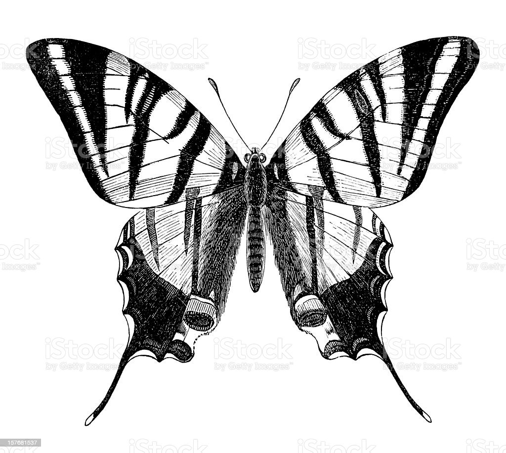 engraving of butterfly sail swallowtail isolated on white stock