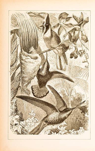 Engraving of different hummingbirds from 1877 vector art illustration