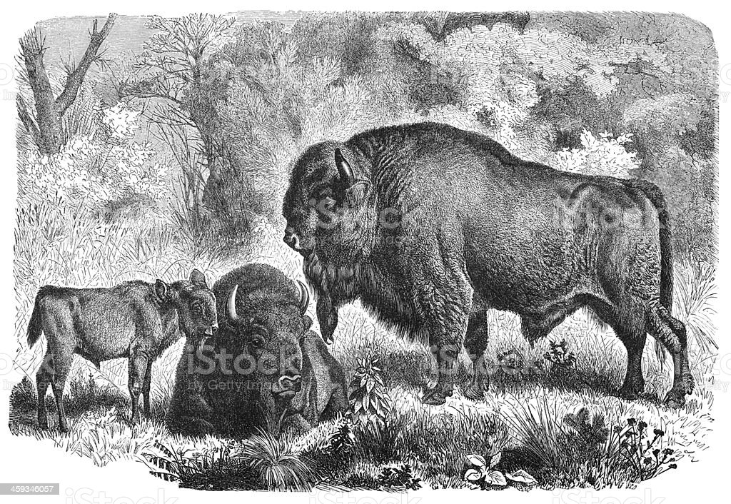 Engraving of European bison family from 1877 royalty-free engraving of european bison family from 1877 stock vector art & more images of 18th century