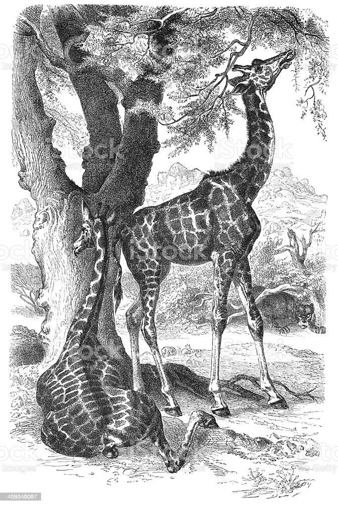 Engraving of giraffe eating from 1877 vector art illustration