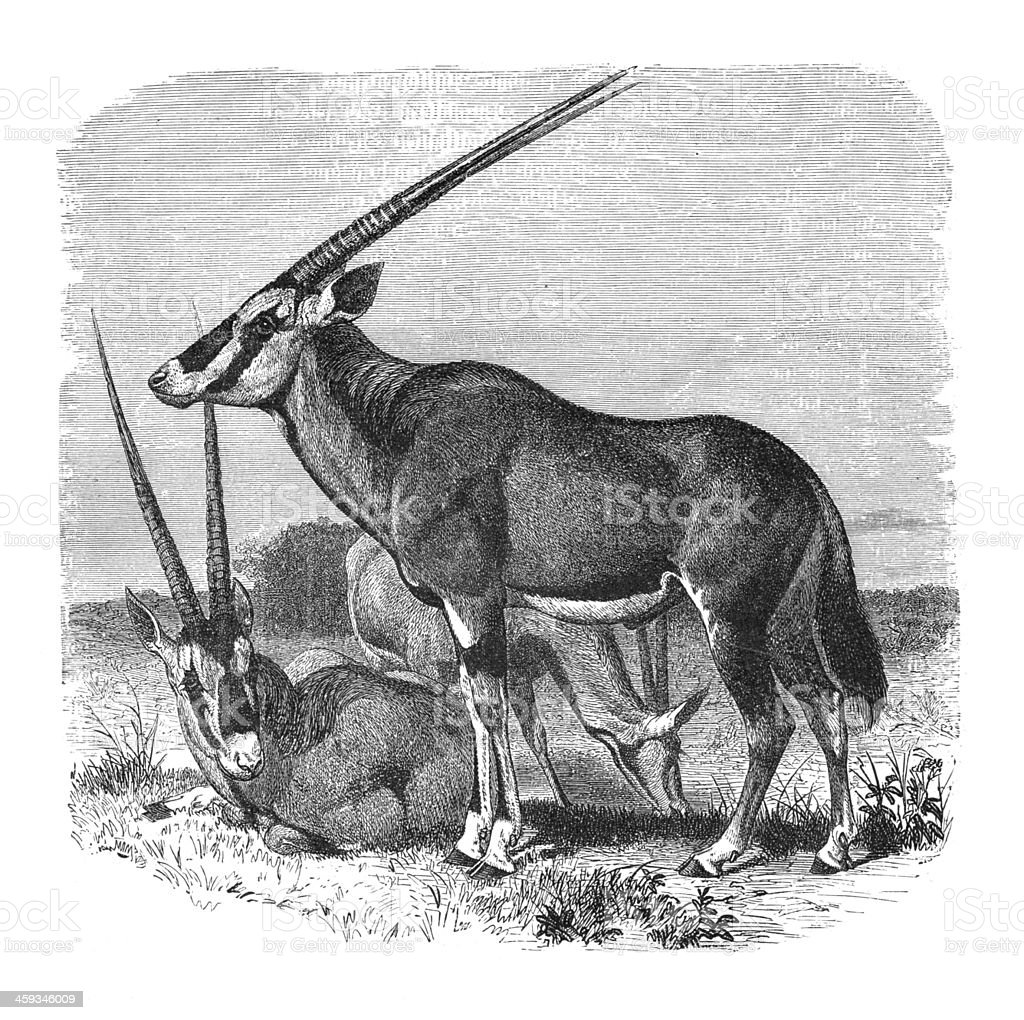 Engraving of Oryx beisa antelope from 1877 vector art illustration