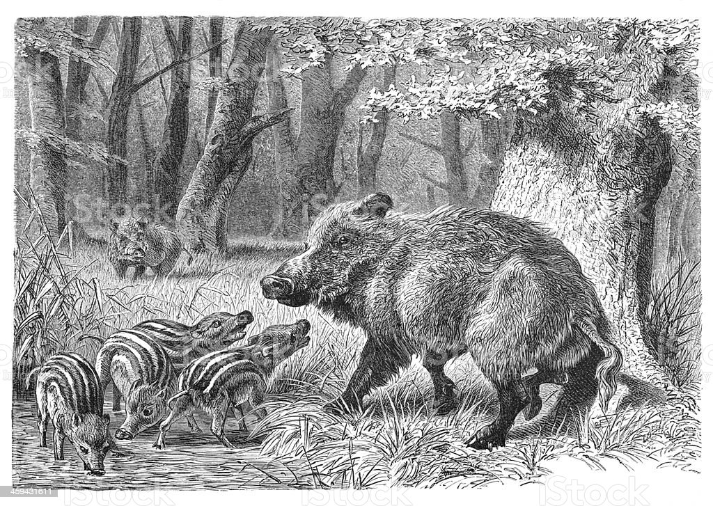Engraving of Wild boar with piglets from 1877 vector art illustration