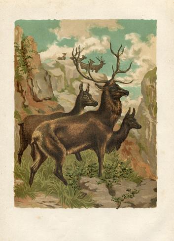 Steel engraving red deer ( Cervus elaphus )