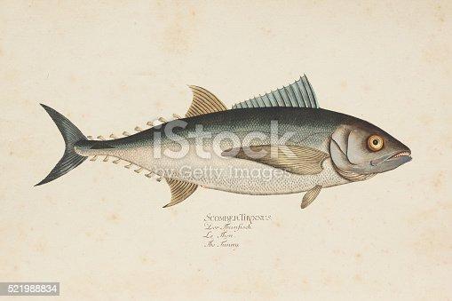 Steel engraving of tuna fish ( Thunnini ) from 1785