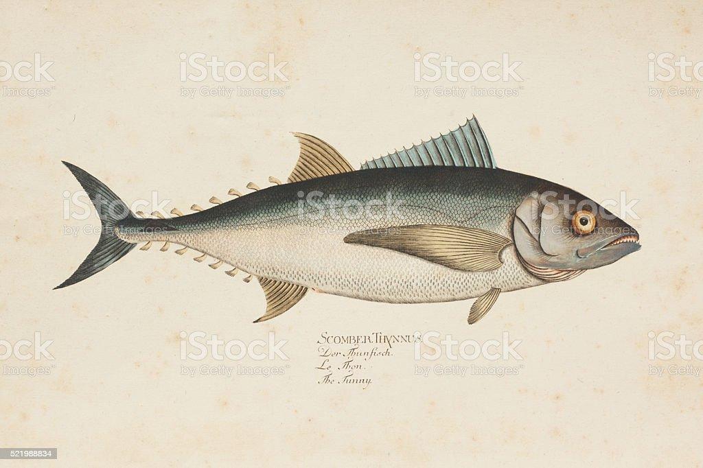 Engraving tuna fish tunny from 1785 vector art illustration