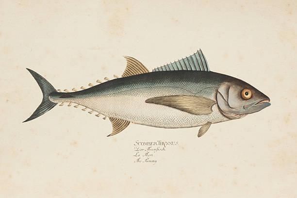 ilustraciones, imágenes clip art, dibujos animados e iconos de stock de grabado atún de peces atún 1785 - atún pescado