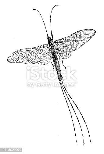 istock Ephemera vulgata is a species of mayfly in the genus Ephemera 1143022070