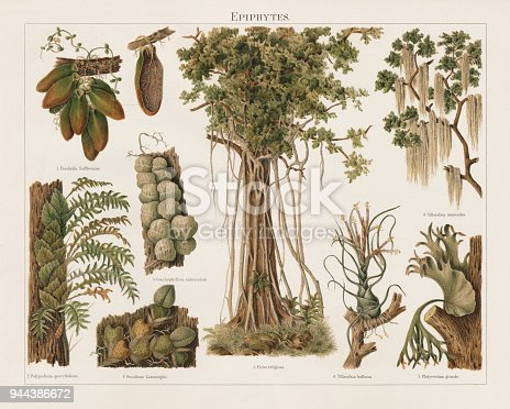 Epiphytes: 1) Malayan urn vine (Dischidia major, or Dischidia rafflesiana) with cross section of a leaf; 2) Polypodium quercifolium; 3) Thruppence urn plant (Dischidia imbricata, or Conchophyllum imbricatum); 4) Psychopsiella limminghei or Oncidium Limminghii; 5) Sacred fig (Ficus religiosa); 6) Bulbous airplant (Tillandsia bulbosa); 7) Elkhorn fern (Platycerium grande); 8) Spanish moss (Tillandsia usneoides). Epiphytes are organisms, that grows on the surface of a plant, without getting involved as with parasites and do not necessarily negatively affect the host. Lithograph, published in 1897.