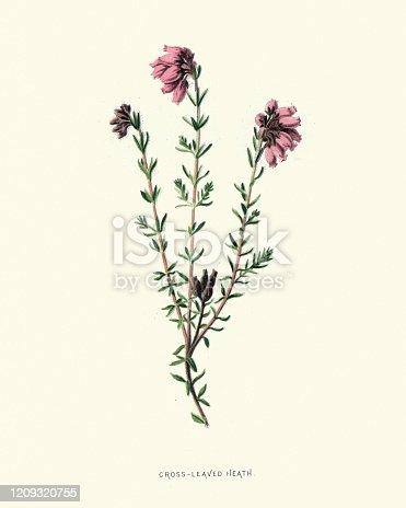 istock Erica tetralix, cross-leaved heath, botanical flower print 1209320755