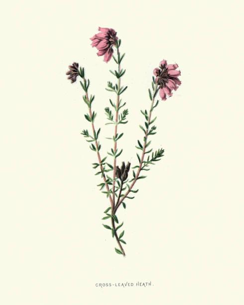 Erica tetralix, cross-leaved heath, botanical flower print vector art illustration