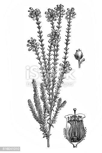istock Erica tetralix (cross-leaved heath) 516041010