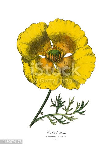 Very Rare, Beautifully Illustrated Antique Engraved Victorian Botanical Illustration of Eschscholtzia or California Poppy, Published in 1886. Source: Original edition from my own archives. Copyright has expired on this artwork. Digitally restored.