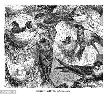istock Esculent Swallows 500159158