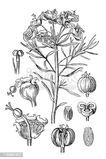 Illustration of a Euphorbia cyparissias, the cypress spurge