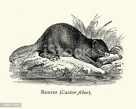Vintage engraving of Eurasian beaver (Castor fiber), 19th Century