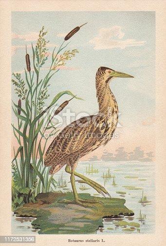 Eurasian bittern (Botaurus stellaris). Chromolithograph, published in 1896.