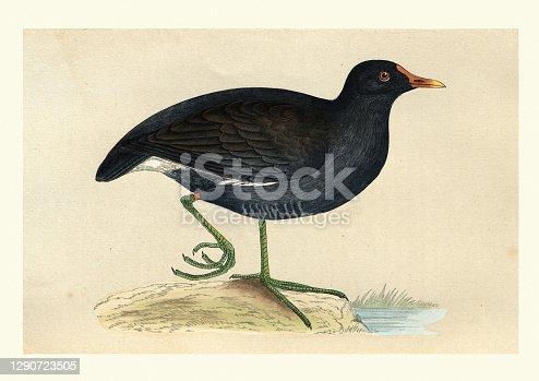 istock Eurasian common moorhen, Birds, Wildlife art print 1290723505