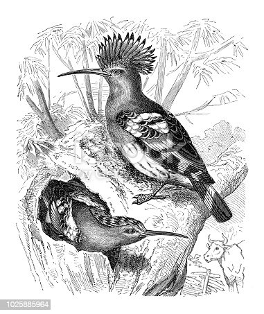 The Eurasian hoopoe (Upupa epops) is the most widespread species of the genus Upupa, native to Europe, Asia and the northern half of Africa. Original edition from my own archives Source : Illustriertes Konversations Lexikon 1880