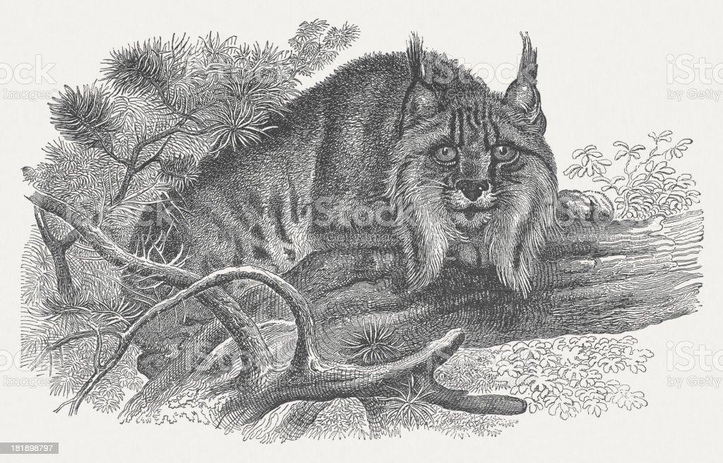 Eurasian lynx (Lynx lynx), wood engraving, published in 1875 royalty-free stock vector art
