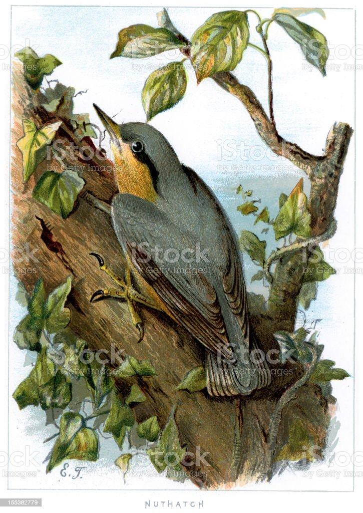 Eurasian Nuthatch - Sitta europaea royalty-free stock vector art