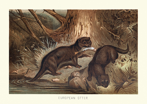 Eurasian otter (Lutra lutra) hunting fish in woodland river