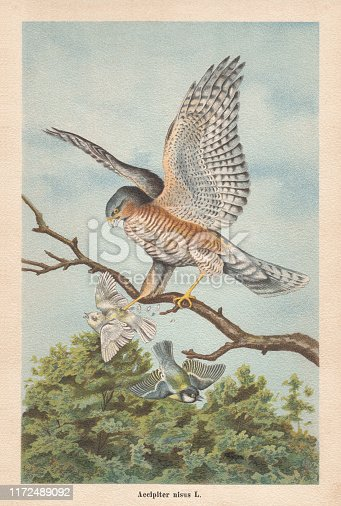 Eurasian sparrowhawk (Accipiter nisus). Chromolithograph, published in 1896.