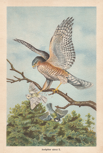 Eurasian sparrowhawk (Accipiter nisus), chromolithograph, published in 1896