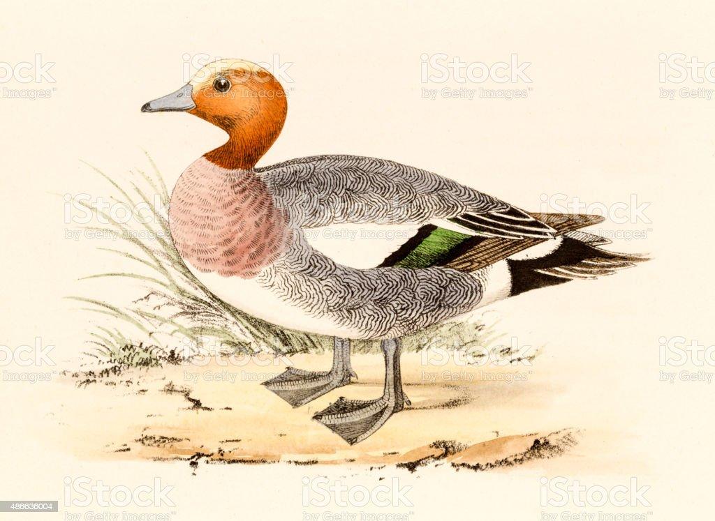 Eurasian Wigeon, 19 century science illustration vector art illustration
