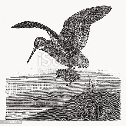 istock Eurasian woodcock (Scolopax rusticola) with chicken, wood engraving, published 1889 1342056349