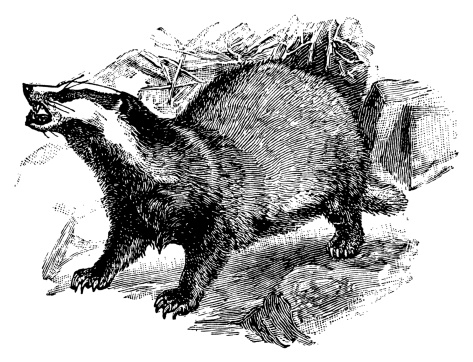 European badger | Antique Animal Illustrations