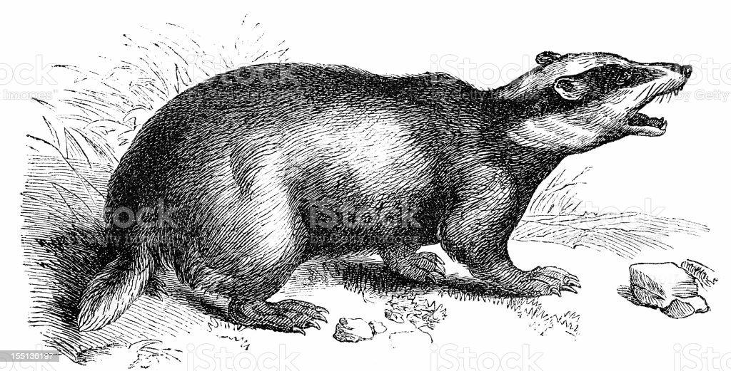 European Badger (Meles Meles) vector art illustration