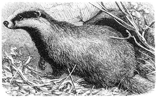 European badger(Meles meles)