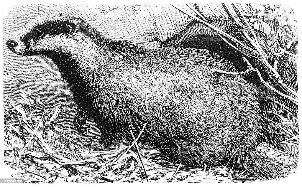 European badger(Meles meles) vector art illustration