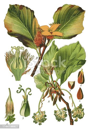 """Antique illustration of a Medicinal and Herbal Plants.  illustration was published in 1892 """"Medicinal Plants of the Russian"""