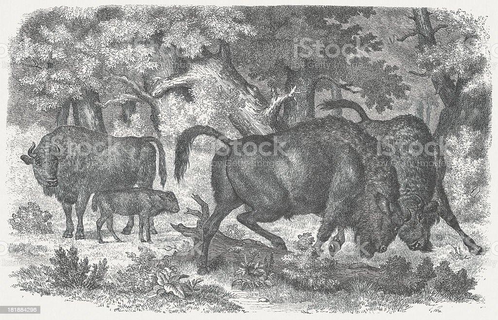 European bison (Bison bonasus), wood engraving, published in 1875 royalty-free european bison wood engraving published in 1875 stock vector art & more images of animal