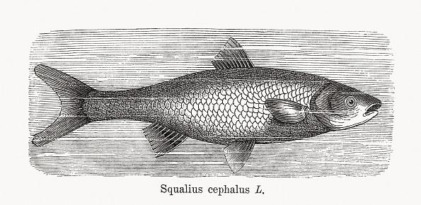 European chub (Squalius cephalus), wood engraving, published in 1893