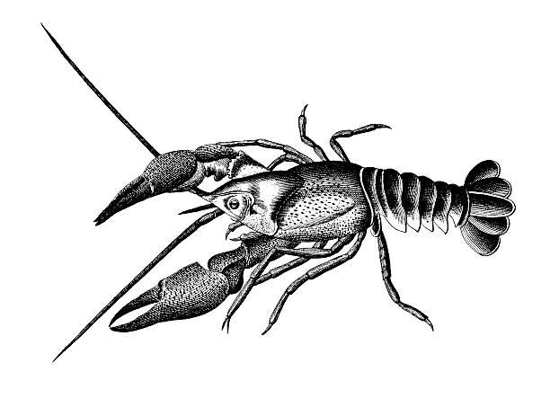 stockillustraties, clipart, cartoons en iconen met european crayfish   antique scientific illustrations - krab gerecht