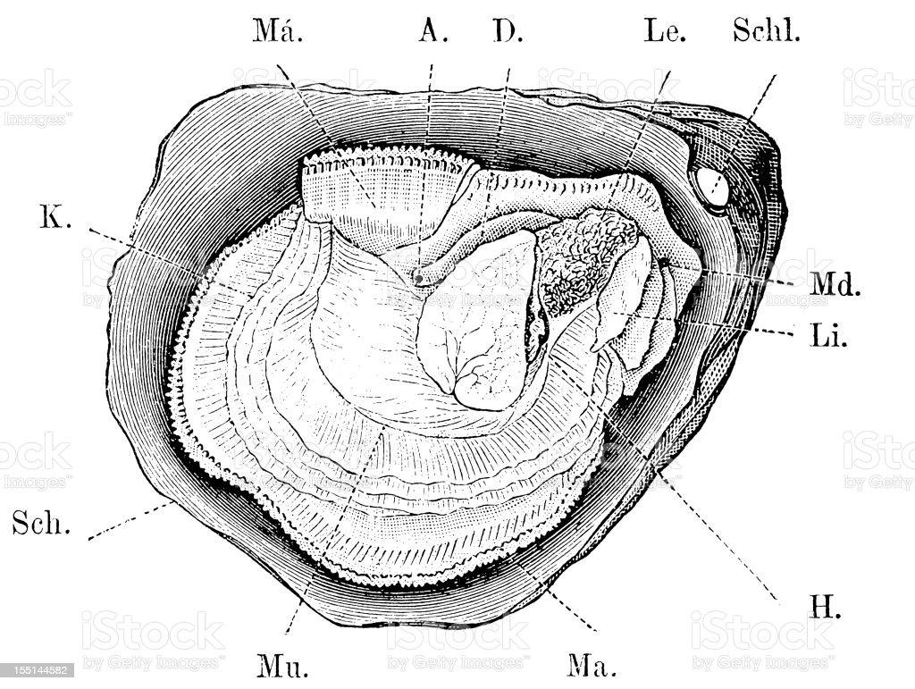 European Flat Oyster (Ostrea Edulis) vector art illustration