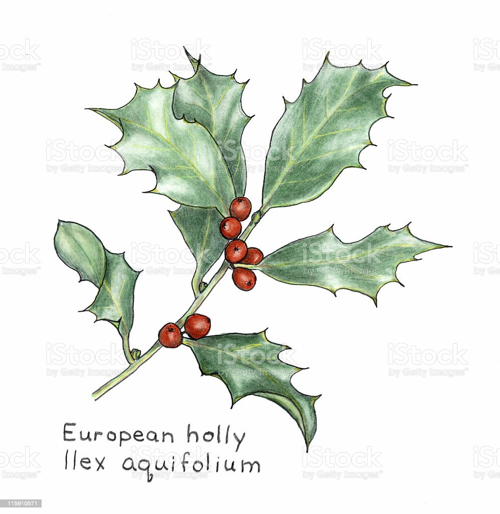 european holly ilex aquifolium botanical drawing in colored pencil