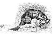 Illustration of a European otter (Lutra lutra)